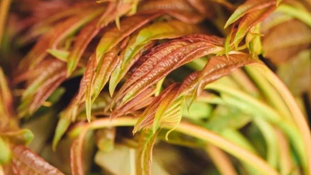 香椿的品種與植物學特征