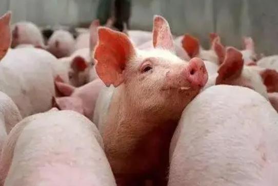 豬病治療有7大忌,您都知道嗎?
