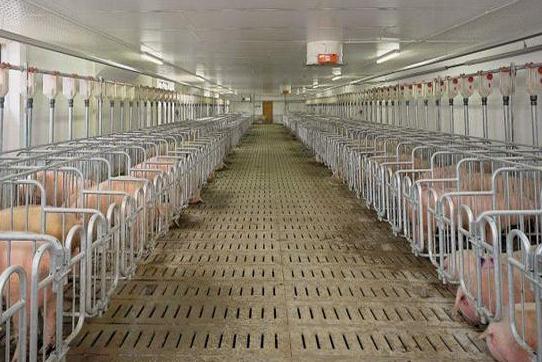 養豬就怕豬生病,二十種常見豬病的治療小妙招,值得收藏