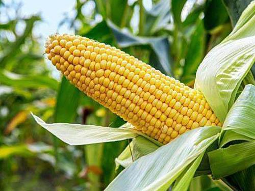 玉米锌肥施用技术及注意事项
