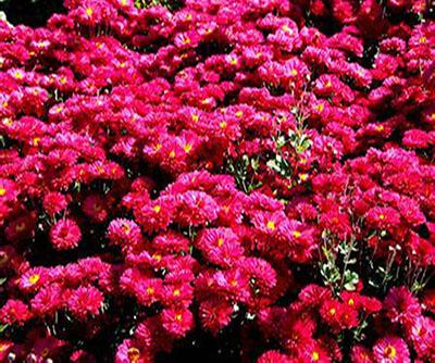 地被菊红色