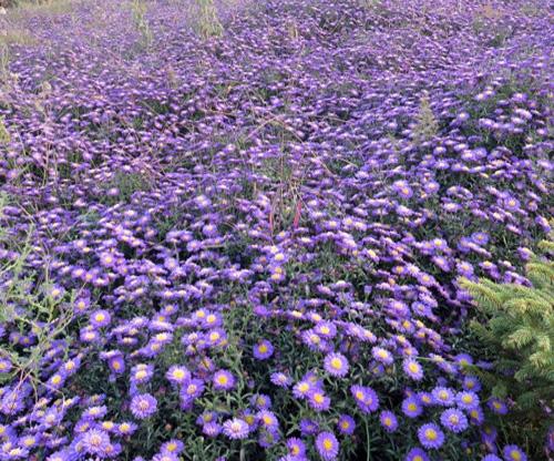 荷兰菊(蓝梦)