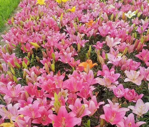 亚洲百合粉色