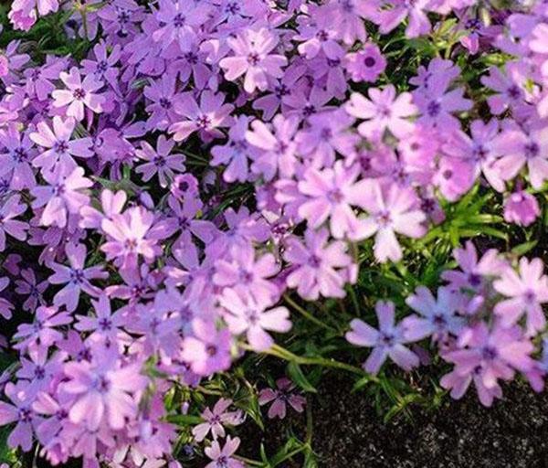 丛生福禄考紫色